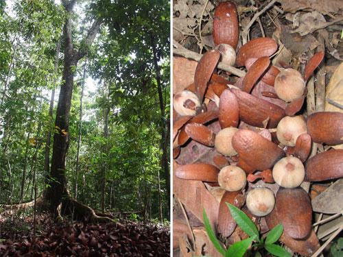 Tengkawang Baum und Nuss