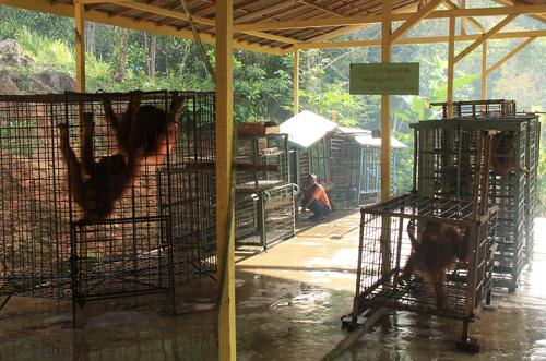 Orang Utans – eine per Gesetz geschuetzte Art.