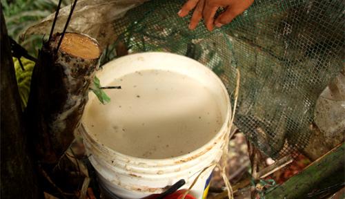 Der Saft tropft in einem Eimer (in dem schon Rindenstuecke gegeben wurden um den Gaerprozess zu beschleunigen).