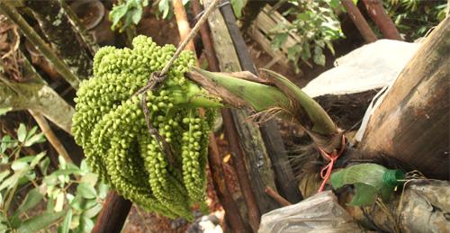 Der Fruchtstand, welcher abgeschnitten wird um den Saft zu nutzen.