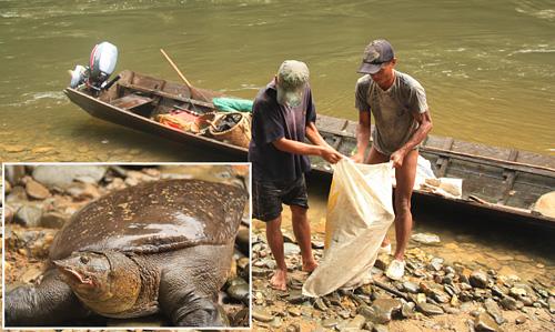 Das unkontrollierte Fangen der hier einst sehr verbreiteten Labi-Labi Schildkröte hat deren Population inzwischen zusammenbrechen lassen.