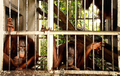 """Gerettete"" Orang Utans ohne Lebensraum im mittlerweile geschlossenen Sintang Orangutan Center"
