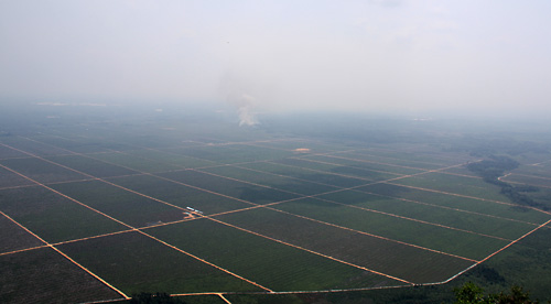 Grosse Plantagen werden in West Kalimantan fuer Oelpalmen angelegt.